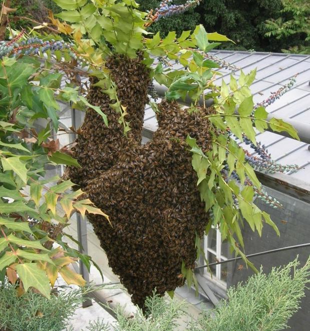 essaim-abeilles-1.jpg
