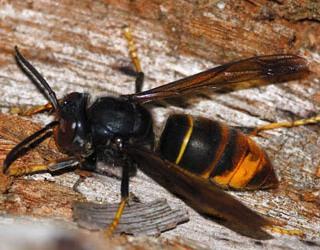 vivre avec les gu pes abeilles et frelons sans tre d rang amapp des maillotins joigny 89. Black Bedroom Furniture Sets. Home Design Ideas