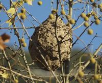 nid-frelons-asiatiques-4.jpg